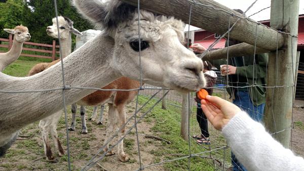 alpaca-feeding